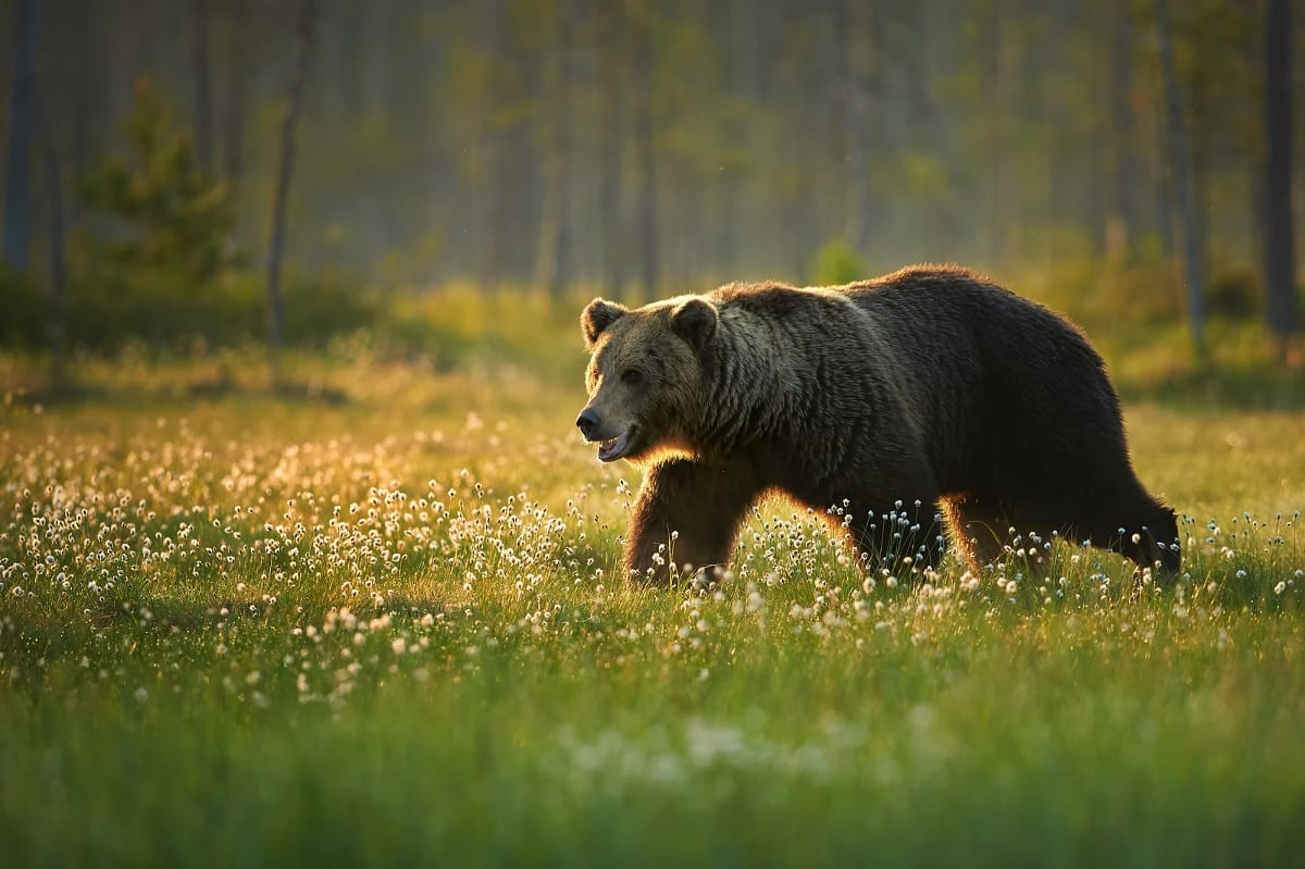 Bear Security Information – What You Want To Know If You Encounter Bears