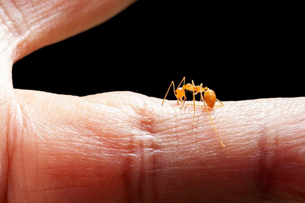 Angry ant biting human skin