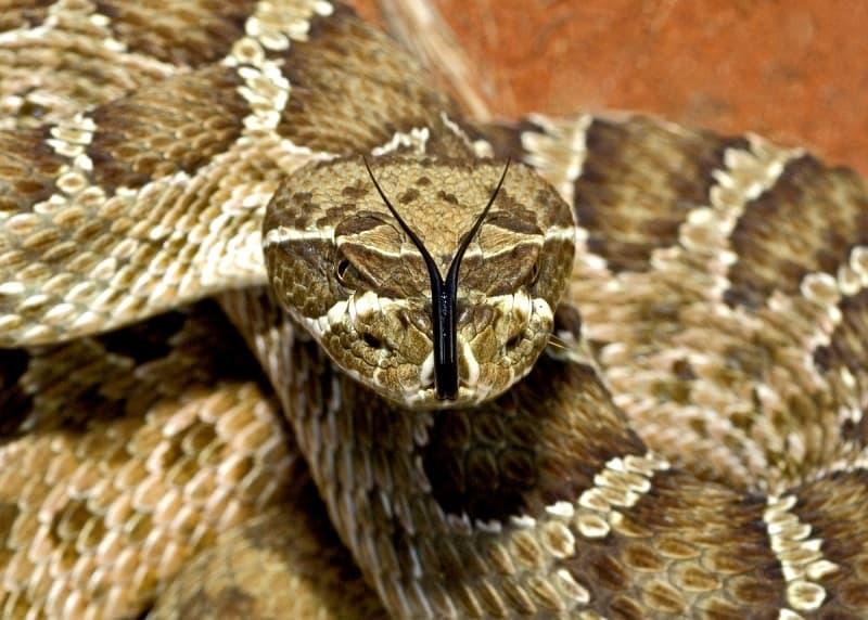 A Prairie Rattlesnake, Crotalus Viridis Viridis