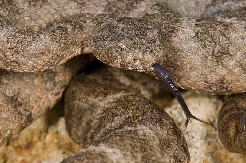 Tiger Rattlesnake (Crotalus Tigris)