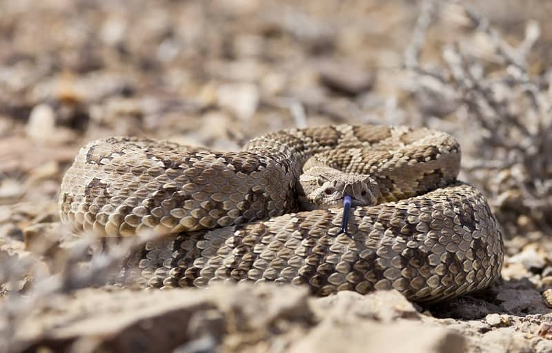 Coiled rattle snake